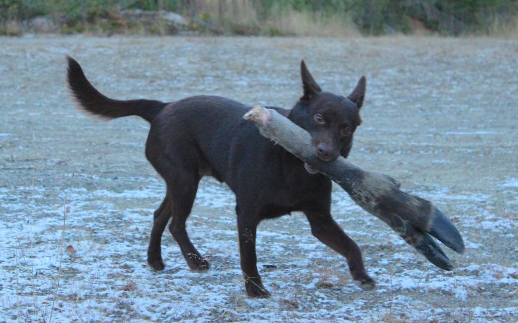 Strider with his elk bone